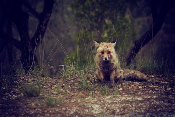forest-animal-wilderness-fox-large