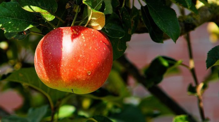 apple-tree-branch-apple-fruit-52517-large.jpeg
