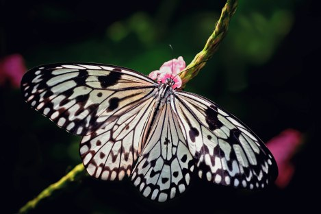 The paper kite butterfly has definitely been one of my favorite butterflies in this shoot, and here is the only image I have with its wings fully spread, showing off its lovely natural patterns.