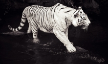 Hungry tiger on the prowl for some meat.